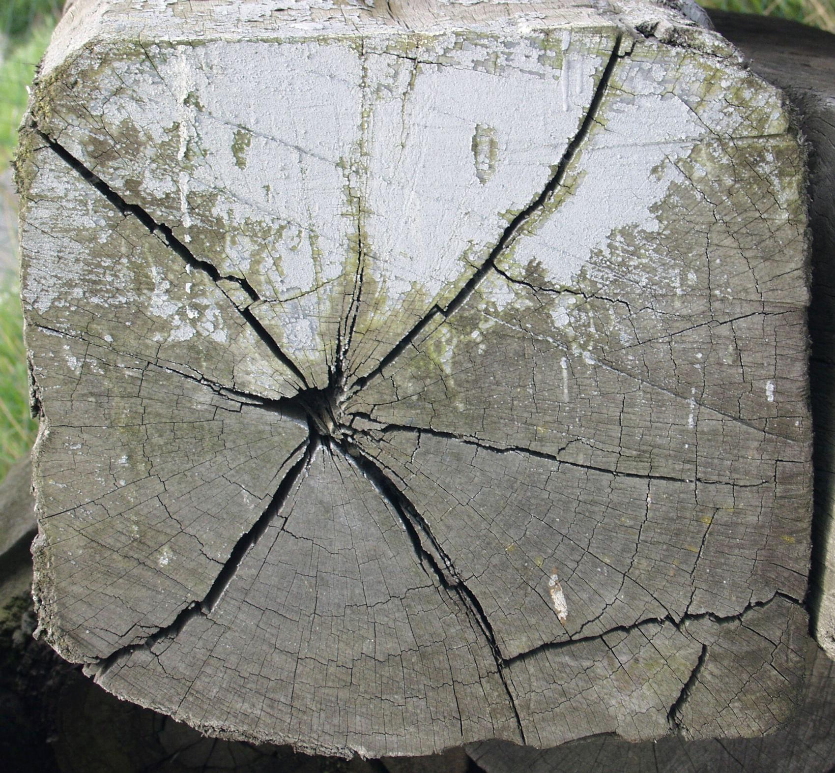 презентацию дерево на срезе